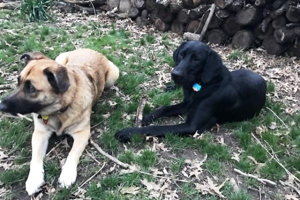 alum loki - bentley and sibling Sheba 4-28